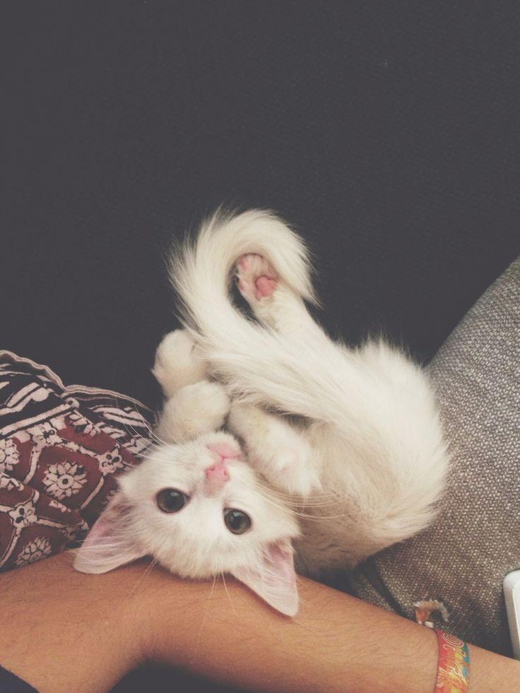 Pretzel kitten