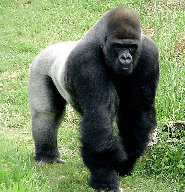 Silverback Lowland Gorilla.  Power & respect.