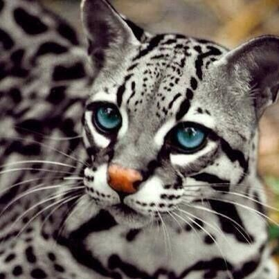 Blue-Eyed Ocelot, art, cats, eyes