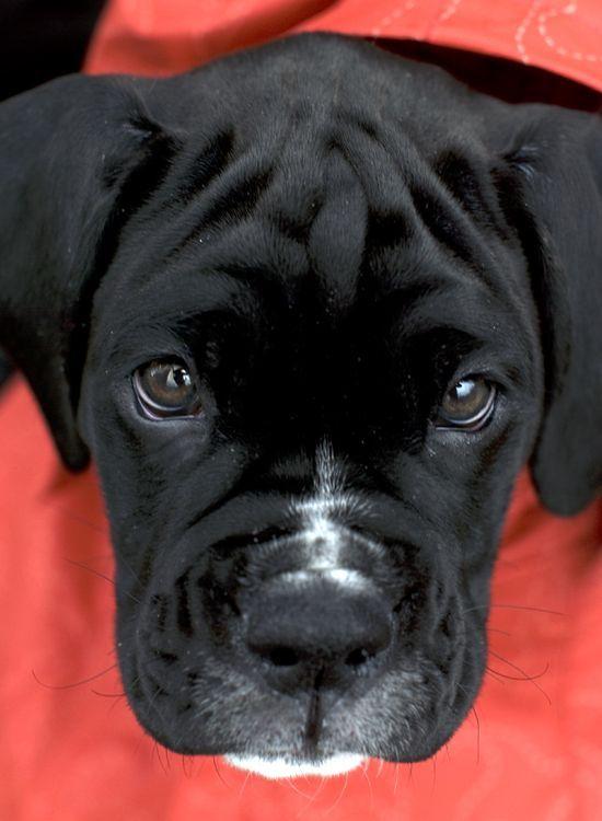 Black & White Boxer puppy, Kiah, at 9 weeks - follow Kiah on FB: www.facebook.com/... - ActingLikeAnimals.com