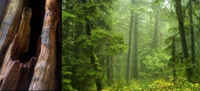Tofino, right in the heart of the old growth temperate rainforest