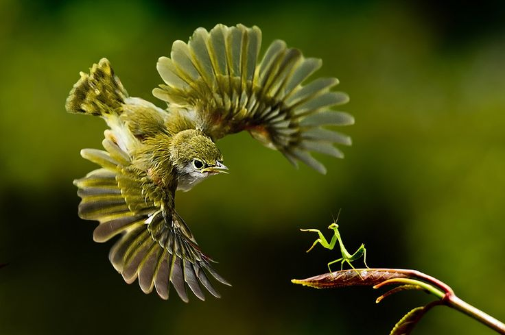 Una mantis religiosa se enfrenta a un pájaro.