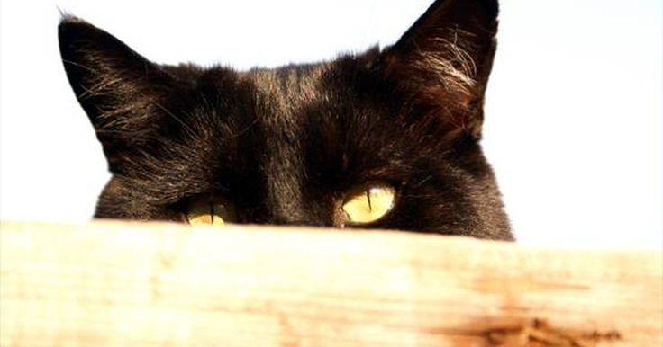 Sintomas de ácaro de orelha. Ácaros de orelha são infecções típicas de felinos. É extremamente contagioso e deve ser diagnosticado o quanto antes. Existem vários tipos de sinais para ácaros de orelha em gatos.