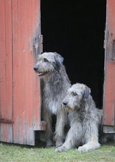 Irish Wolfhounds at Barn Door... This is what our Chief will look like when he's all grown up! :)