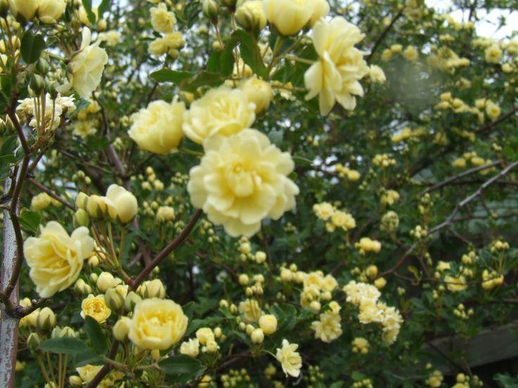 Yellow Rose Bush Small yellow rose bush - google search tattoo ...