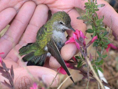 Nursing a baby hummingbird back to health... via Irving Park Garden Club