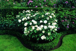 Winchester Cathedral Rosa English Rose Winchester Cathedral from Regan Nursery