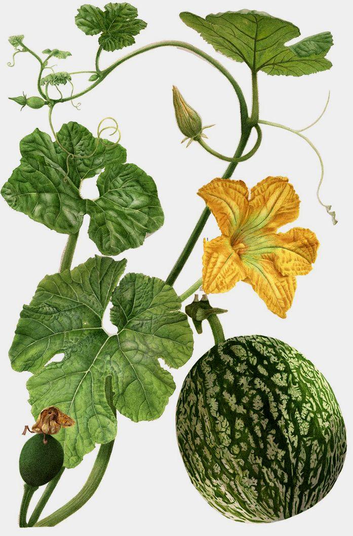 Ботанические мотивы в акварелях английской художницы Elaine Searle - Ярмарка…