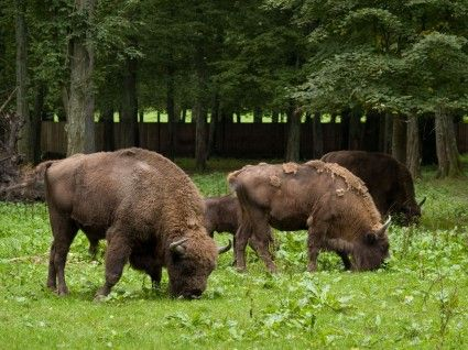 Białowieża // Do you want to visit Bialowieza? check http://eltours.com/tailor-made-customized-tours
