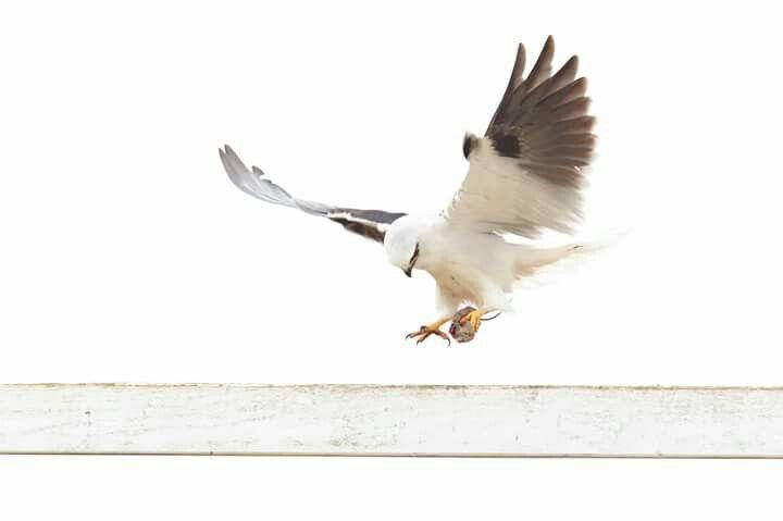 8 mejores imágenes de Wings en Pinterest   Pájaros bonitos, Aves ...
