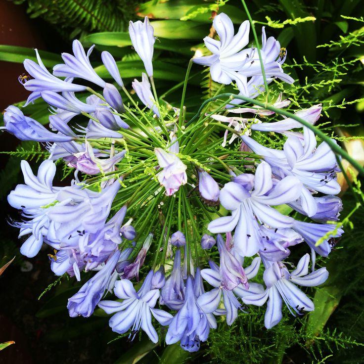 Beautiful agapanthus..... Flower