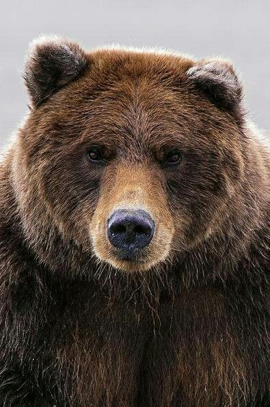 -Grizzly bear close-up I used as inspiration for the linoleum block prints I did