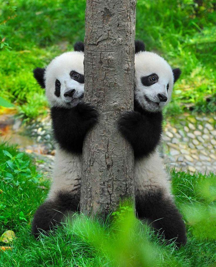 Uratowana panda