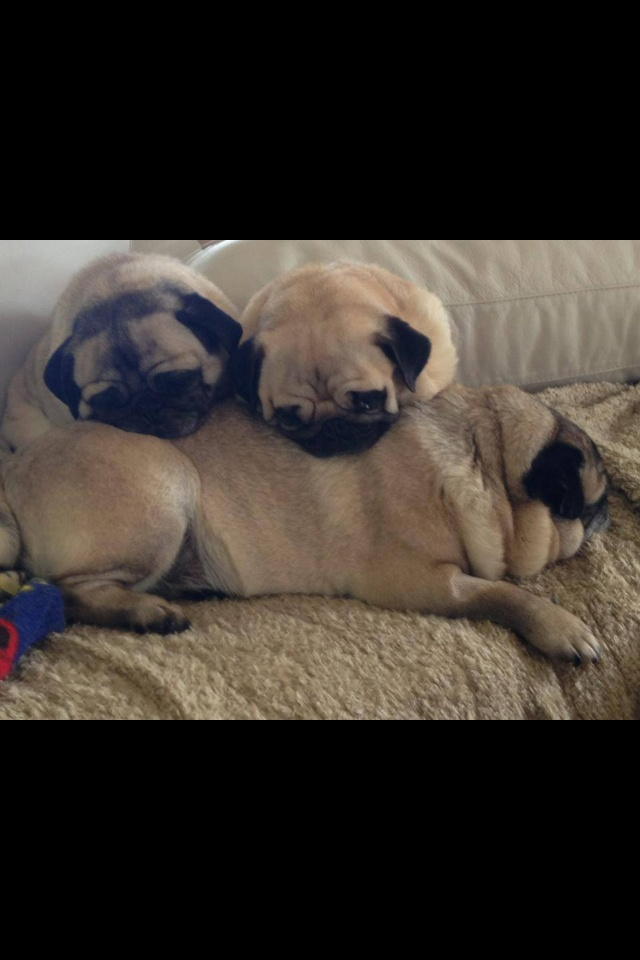 ... about Pugs on Pinterest | Black pug puppies, Pug and Pug puppies