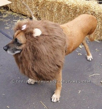158 best pet halloween costumes images on pinterest homemade the very best 3 legged lioness pet dog costume solutioingenieria Choice Image