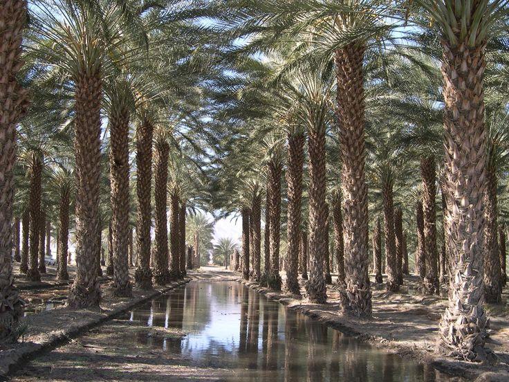Phoenix dactylifera certified Medjool zahidi deglet noor Date Palm Trees for sale in arizona california las vegas texas florida miami houston los angeles