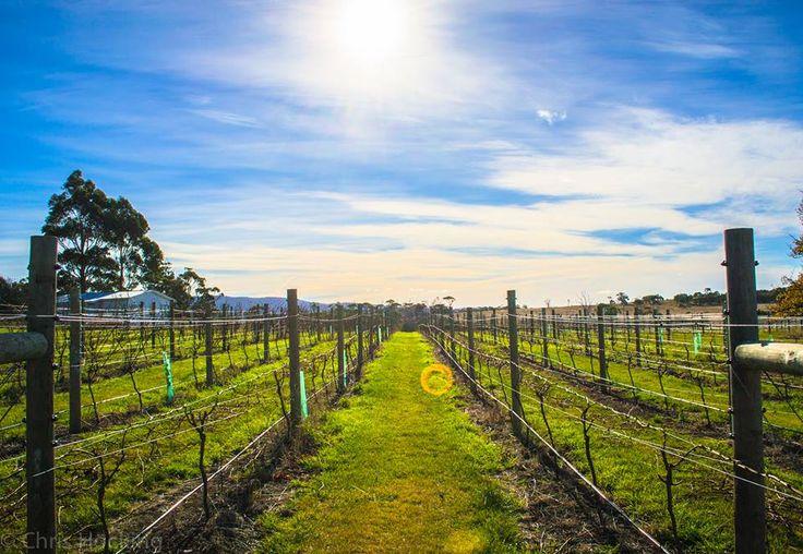 Lisdillon #PinotNoir #vineyard on the east coast of #Tasmania