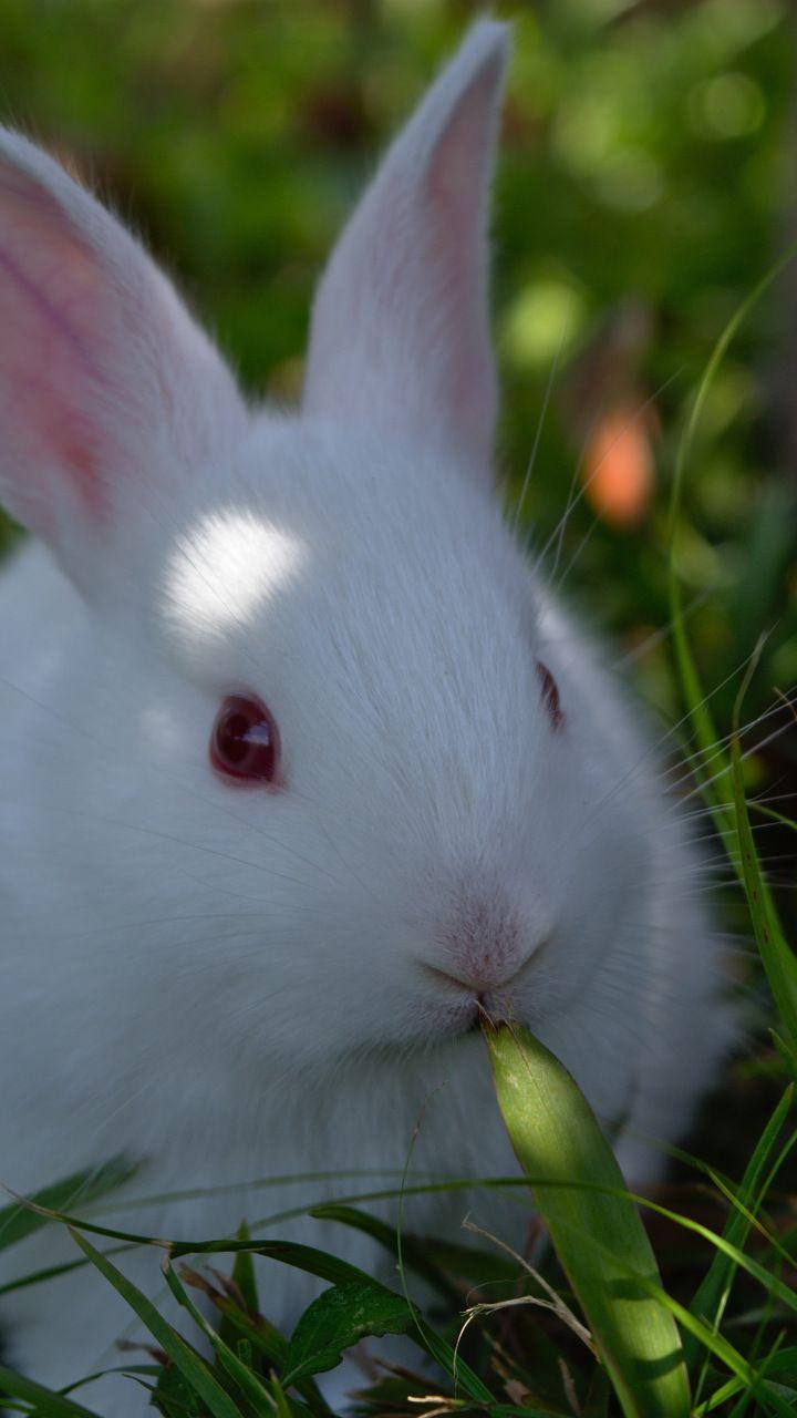 Cute White Rabbit Animal 720x1280 Wallpaper Rabbit Wallpaper Animal Wallpaper Bunny Wallpaper