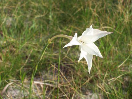 Gladiolus longicolis (Iridaceae) flowering near Graskop, Mpumalanga
