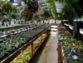 African violets and hanging baskets in glasshouse