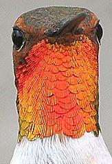 Wayne Schmidt's Hummingbird Picture Page