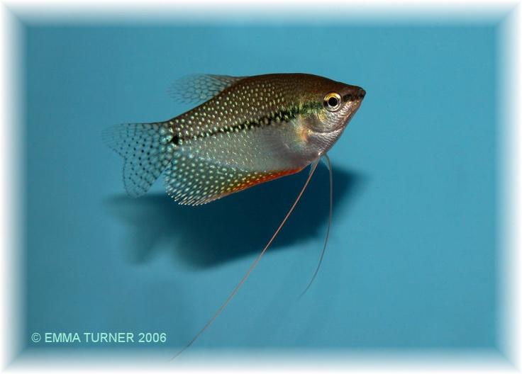 1000 images about gourami fish on pinterest duke neon for Petsmart fish guarantee