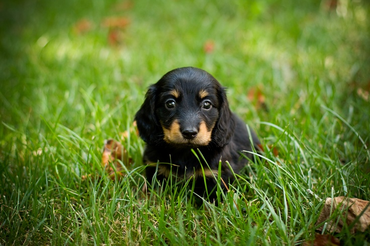 Hank A Long Haired Minature Dachshund 5 Weeks Old