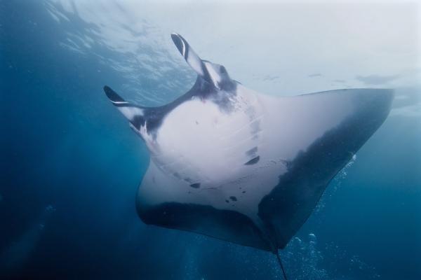 La manta raya de alas negras, Manta birostris, se trata de otro gigante que se nutre de plancton. Este pez enorme puede medir sobre unos 6 m de envergadura.  Se da la circunstancia, que debido a su enorme cuerpo se adhieren a él muchos parásitos y hongos.