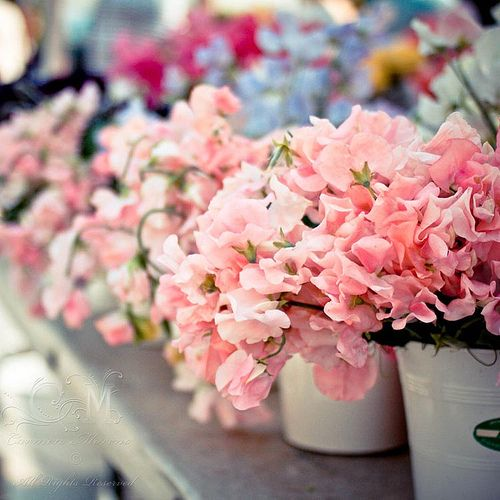 19 best Sweety Pea images on Pinterest | Sweet peas, Beautiful ...