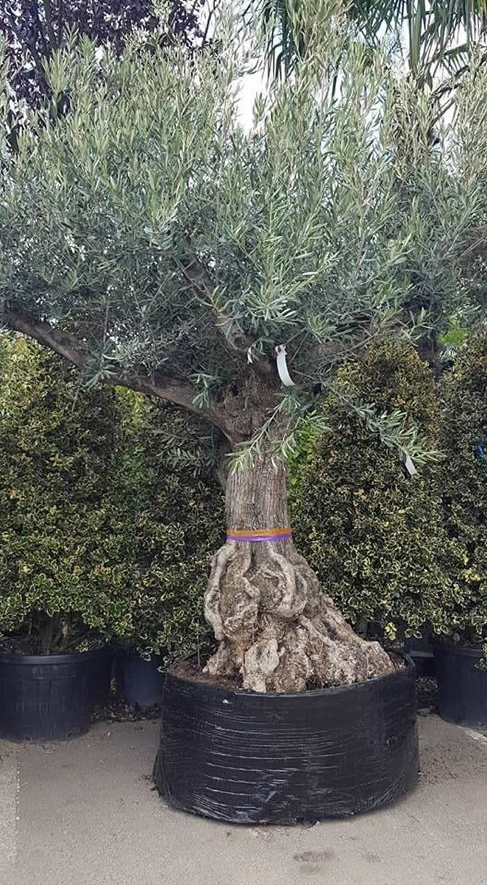 Very old 100 year old Olive trees with beautiful gnarled trunks. They are UK hardy and will grow in the ground or in containers. We call these Bonsai-Style due to the short stubby trunks. #olive trees #old trees