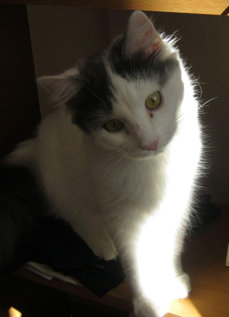 a turkish van cat: Turkish Van Cats, Turkish Vans Cat