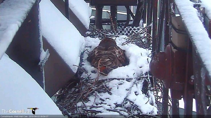 "CornellHawks: ""06:57, 4/3/16: It seems Jack Frost can't get enough of CNY. BR is keeping the eggs warm and toasty this AM"