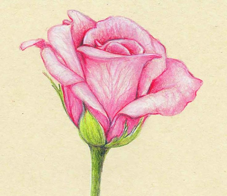 51 best flowers images on Pinterest Draw Pencil drawings of