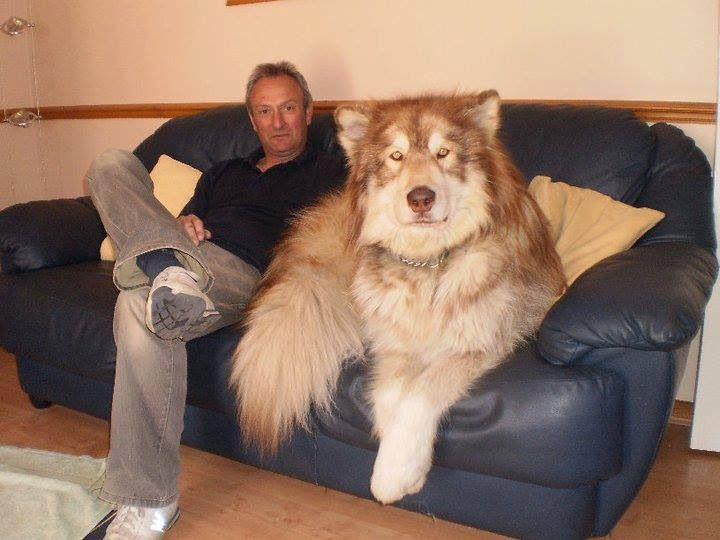 Tibetan Mastiff mixed with a Siberian Husky?   Looks like a dire wolf to me..