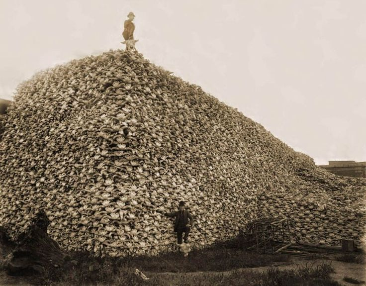 In the 19th century, American bison were hunted to near extinction. Entrepreneurs and hunters killed the animals for their prized skins and left their bodies behind to decay. In this picture, a poacher is seen standing on a pile of around 100,000 bison skulls.