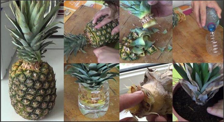 Cómo germinar piña, lechuga, zanahoria, ajo y albahaca sin semilla | Plantas