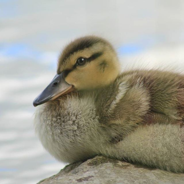 Thought I mix it up and share a baby duck photo I took earlier #babyduck #duckies #duck #wildlife #wildlifephotography #nature #naturelover #outdoorphotography #naturephotography #chingcousypark #endlesscreationsphotography #bramptonphotographer #brampton
