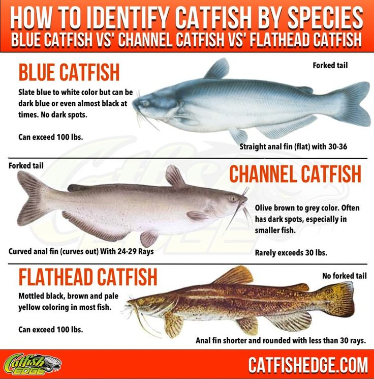"""How to tell the difference in blue, channel and flahead catfish. The """"Big Three"""" Catfish Species Basics, How To Identify Them"""
