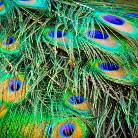 Peacock's feathers / 500px