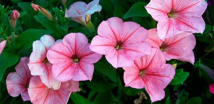 Las petunias son plantas clásicas en nuestros balcones y en nuestras ventanas. Si quieres aprender más sobre la plantación de éstas o los cuidados que necesitan sus flores, en las siguientes líneas te mostramos los consejos básicos a tener en cuenta.