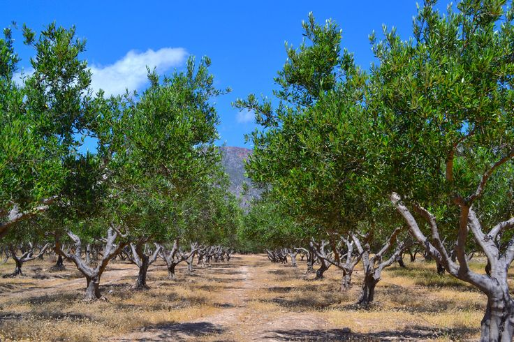 TRAVEL'IN GREECE | Olive trees, #Crete, #Greece, #travelingreece