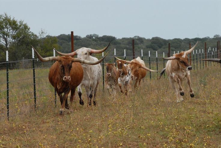 texas longhorn cattle information Home » longhorn cattle for sale longhorn cattle for sale  texas listing # 32130088  site information terms and conditions.