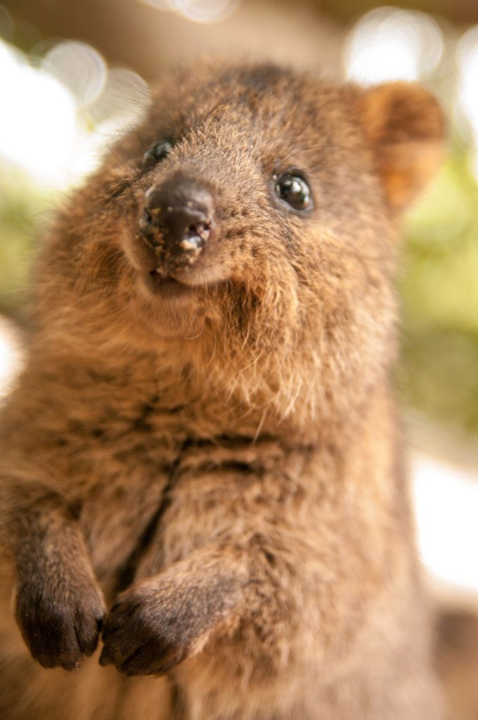 Best Quokka Images On Pinterest Wombat Funny Animals And - 15 photos that prove quokkas are the happiest animals in the world