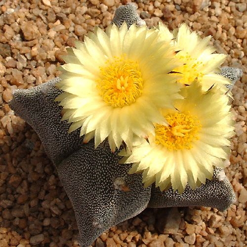 Cactus Flowers (Paine-Chile) | Flickr - Photo Sharing!