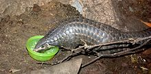 Chinese Pangolin - Wikipedia, the free encyclopedia