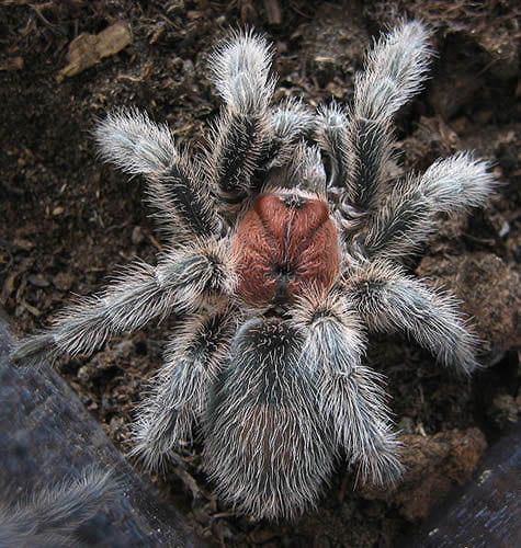 Chilean Rose Hair Tarantula ~ Habitat: terrestrial ~ Native Origin: South America ~ Adult Size: leg span of 4.5-5.5 inches ~ Temperature and Humidity Requirements: 70-85°F with a humidity of 75-80%