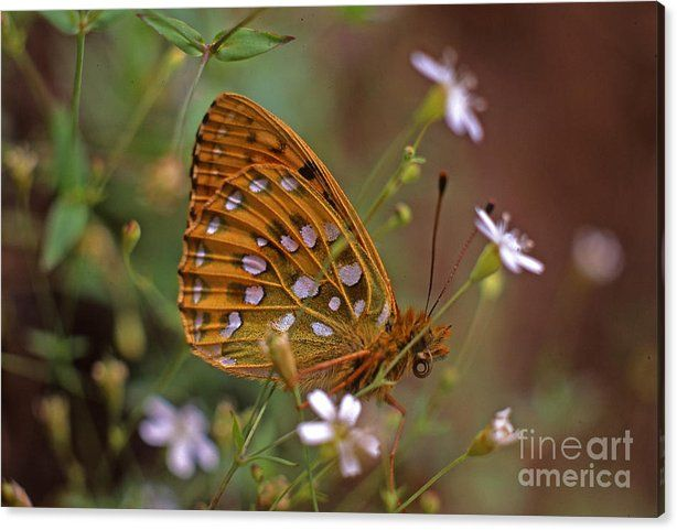 Buy a 36.00 x 24.00 stretched canvas print of Sverre Andreas Fekjan's Dark green fritillary in the meadow for $99.00.  Only 7 prints remaining.  Offer…