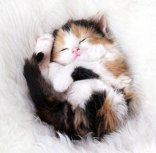 Calico Kitten snoozing. Too darn cute!