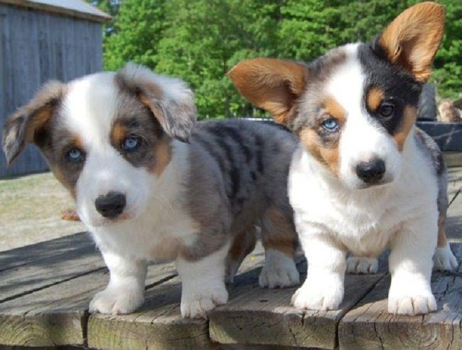 blue merle corgi puppies for sale | Cute Puppies