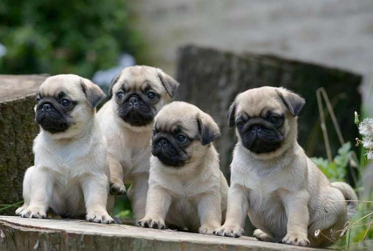 200 best images about pug wallpaper screensaver on